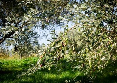 Istrian Olive tree